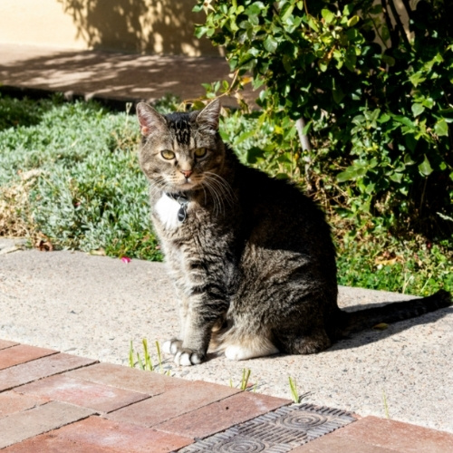 A tabby cat outdoors on a sidewalk