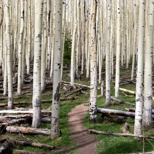 white trunks of aspen trees line a trail