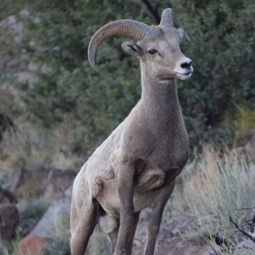 A young big horn sheep in New Mexico